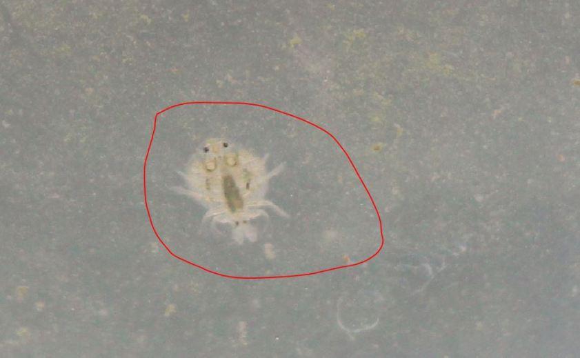 small crustacean